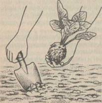 Пересадка рассады с комом земли