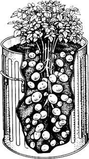 Выращивание картофеля в бочке.