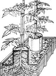 Выращивание рассады томатов в цилиндрах с питательной смесью на гравии