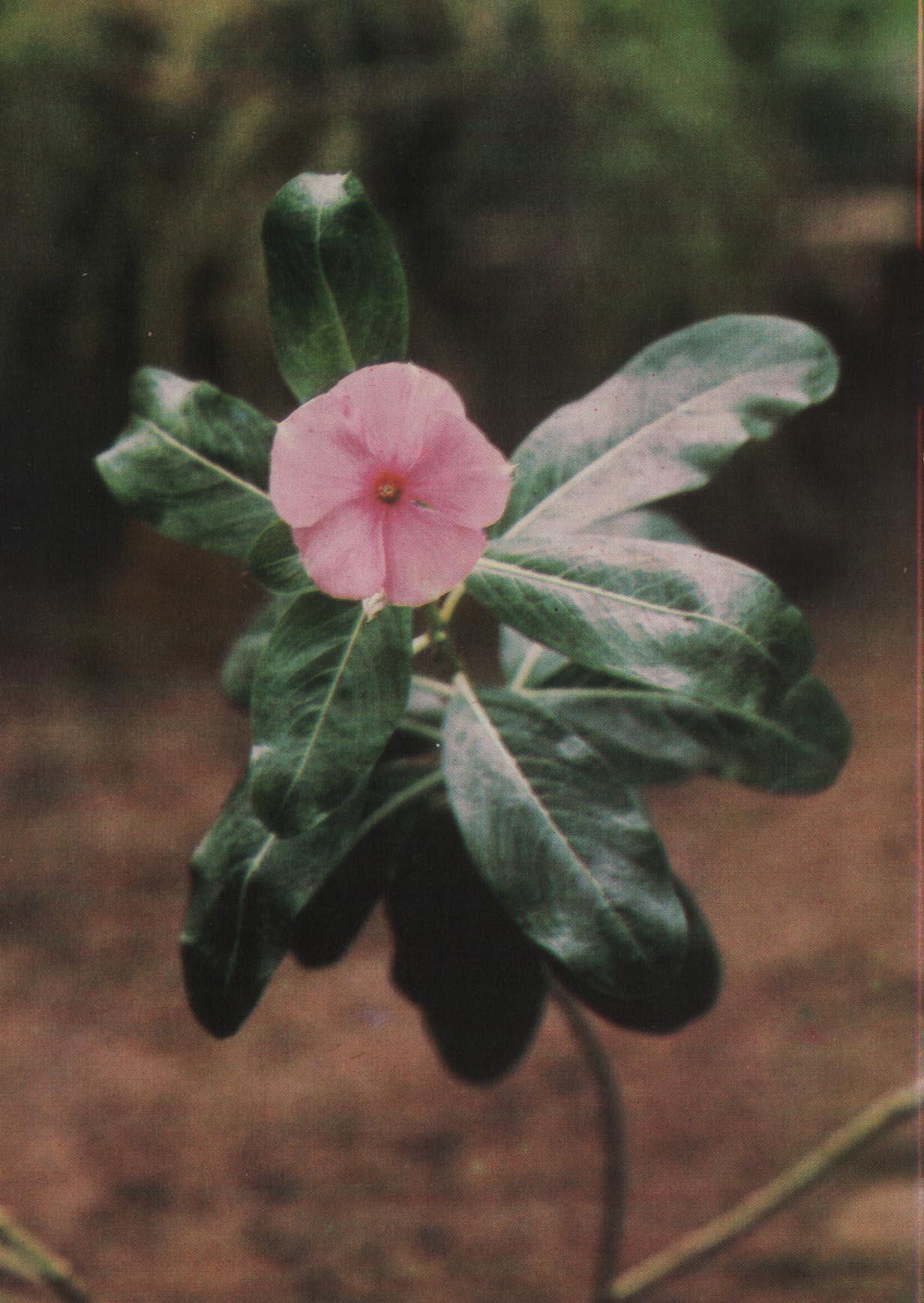 Катараитус розовый