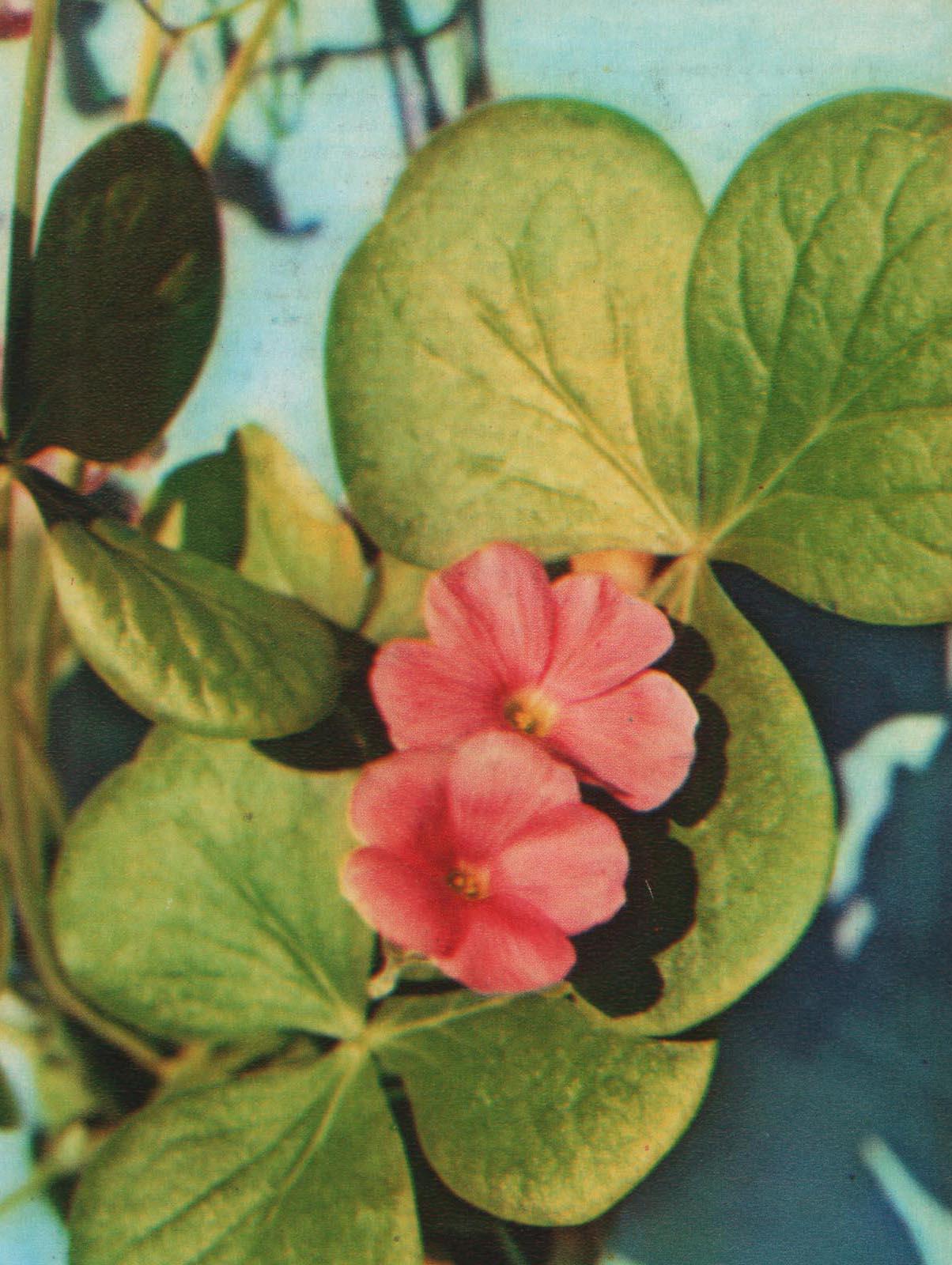 Кислица крупноцветковая