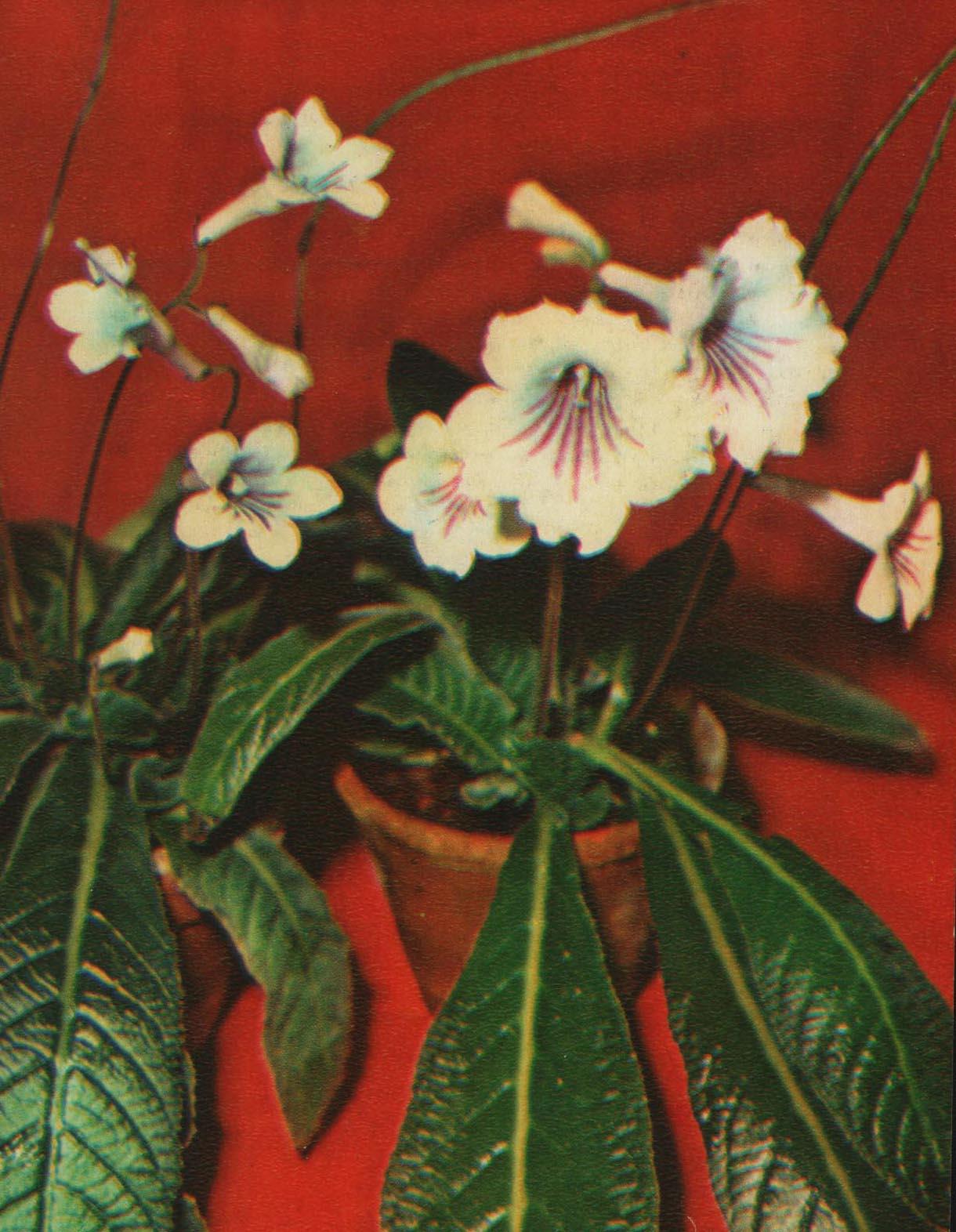 Стрептокарпус гибридный