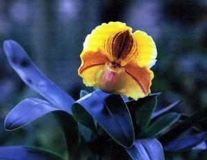 Американские гибриды, фото орхидеи