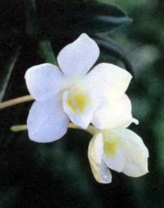 Орхидея Амезиелла, фото