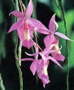 Баркерия орхидея