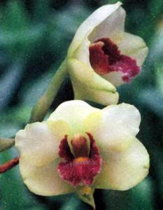 Бифренария, фото орхидеи