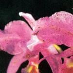 Болезни орхидей, фото, симптомы