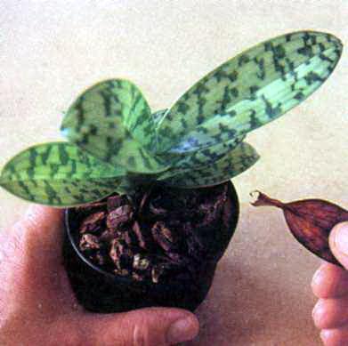 Что делать, чтобы зацвела орхидея.
