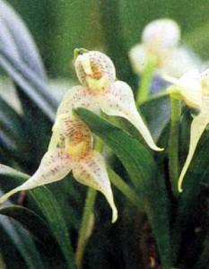 Фото орхидеи Дриаделла
