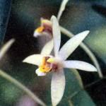 Фото орхидеи Эпигениум