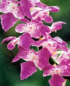 Эридес, фото орхидеи