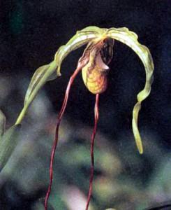 Орхидея Фрагмедиум, фото
