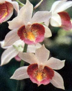 Гастрорхис, фото цветка орхидеи