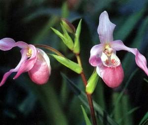 Где растут орхидеи в природе