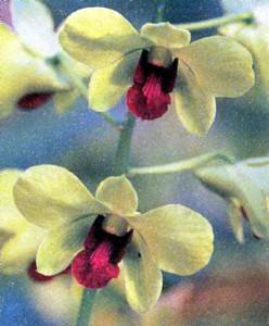 Гибриды Дендробиума фаленопсиса, фото