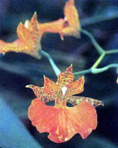 Гибриды Компареттии, фото орхидеи