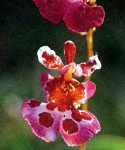 Гибриды Вариегата, фото орхидеи