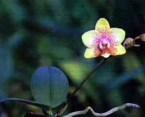 Орхидеи гибриды фаленопсиса, фото