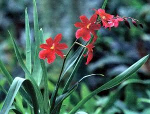 Гибриды онцидиума, фото орхидеи