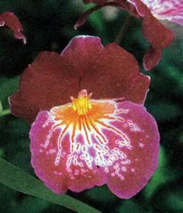 Гибриды орхидеи мильтониопсиса (гибриды мильтонии), фото