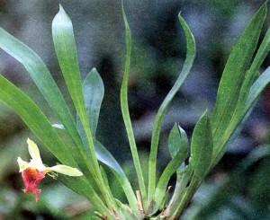 Гибриды зигопеталума, фото орхидеи