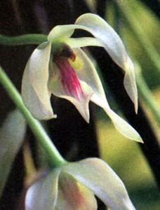 Фото Лептотес, род орхидей