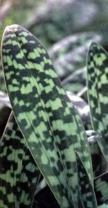 Листья орхидей фото