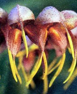 Фото орхидеи Масдеваллия