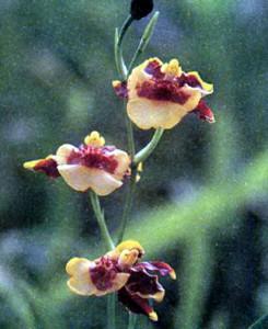 Мини-онцидиум (миниатюрные гибриды), фото орхидеи