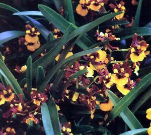 Онцидиум орхидея, фото