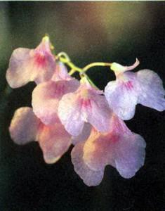 Фото орхидеи Ионопсис