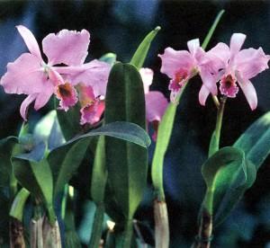 Орхидеи Каттлея