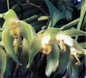 Орхидеи Ликаста, фото