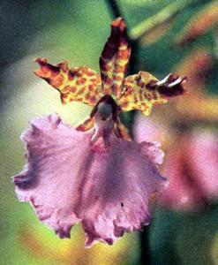 Орхидеи Одонтоглоссум (Лембоглоссум), фото