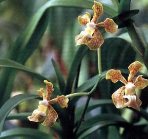 Орхидеи Ванда, фото