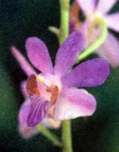Фото орхидеи рода Доритис