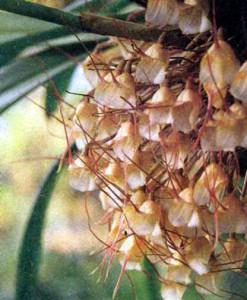 Фото орхидеи рода Дракула