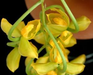 Орхидеи рода Гонгора, фото