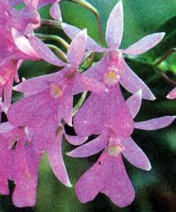 Орхидеи рода Оерстеделла