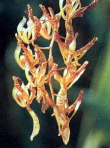 Фото орхидей рода Циррхея