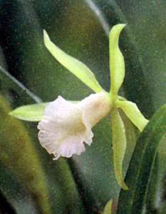 фото орхидей рода Цисшвейнфия