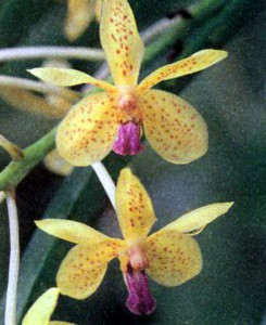 Орхидея Аскоценда, фото