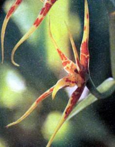 Орхидея Брассия, фото