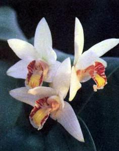 Орхидея Эрия, фото