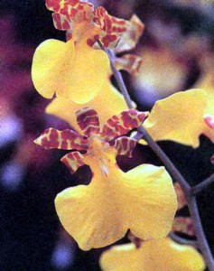Орхидея Лофиарис (Онцидиум), фото