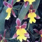 Орхидея Мексикой, фото