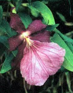 Орхидея Мильтония, фото