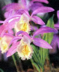 Орхидея Плейоне, фото