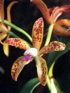 Орхидея для дома