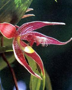 Пафиния орхидея, фото